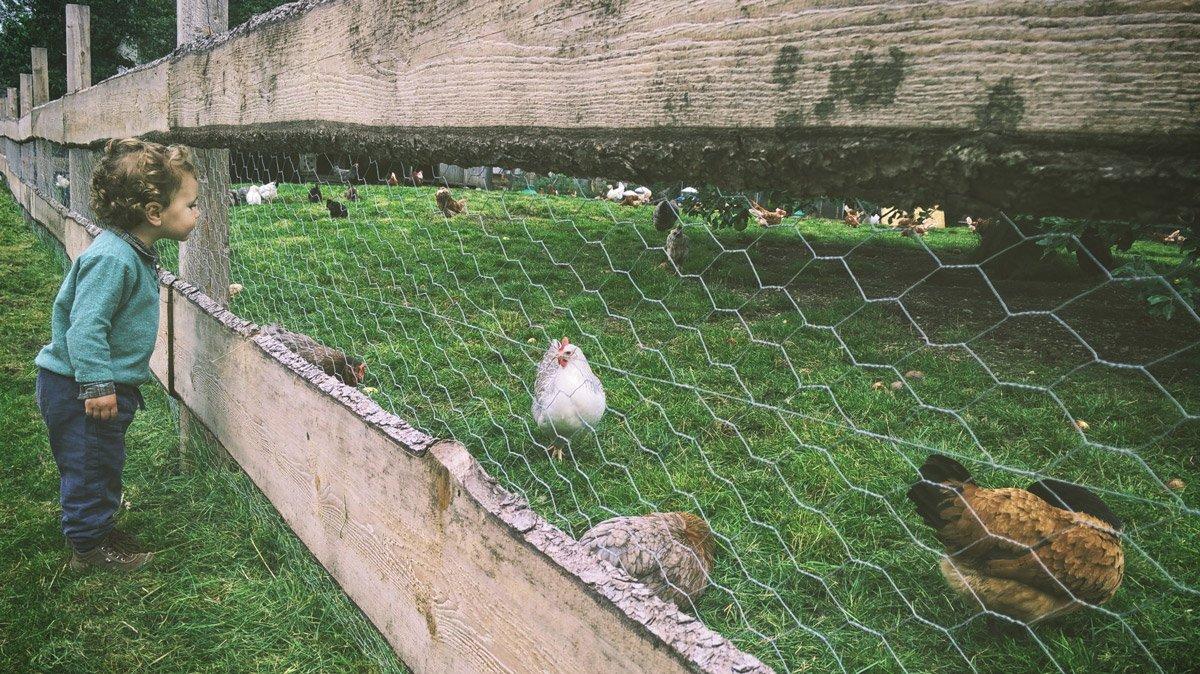 pastured_chickens